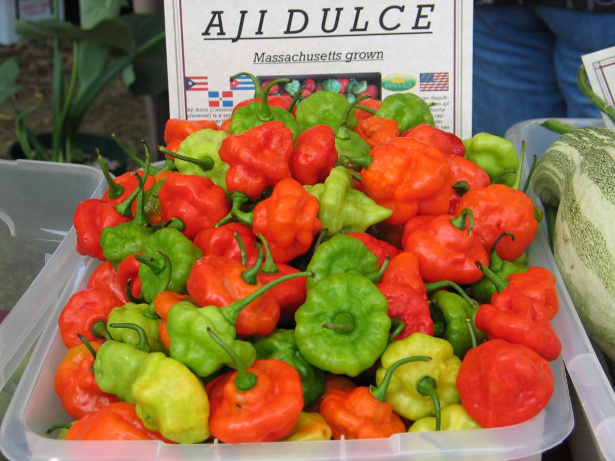Aji Dulce from Puerto Rico grown in New Bedford, Massachusetts